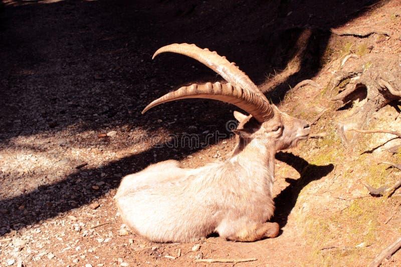 ibex fotografía de archivo