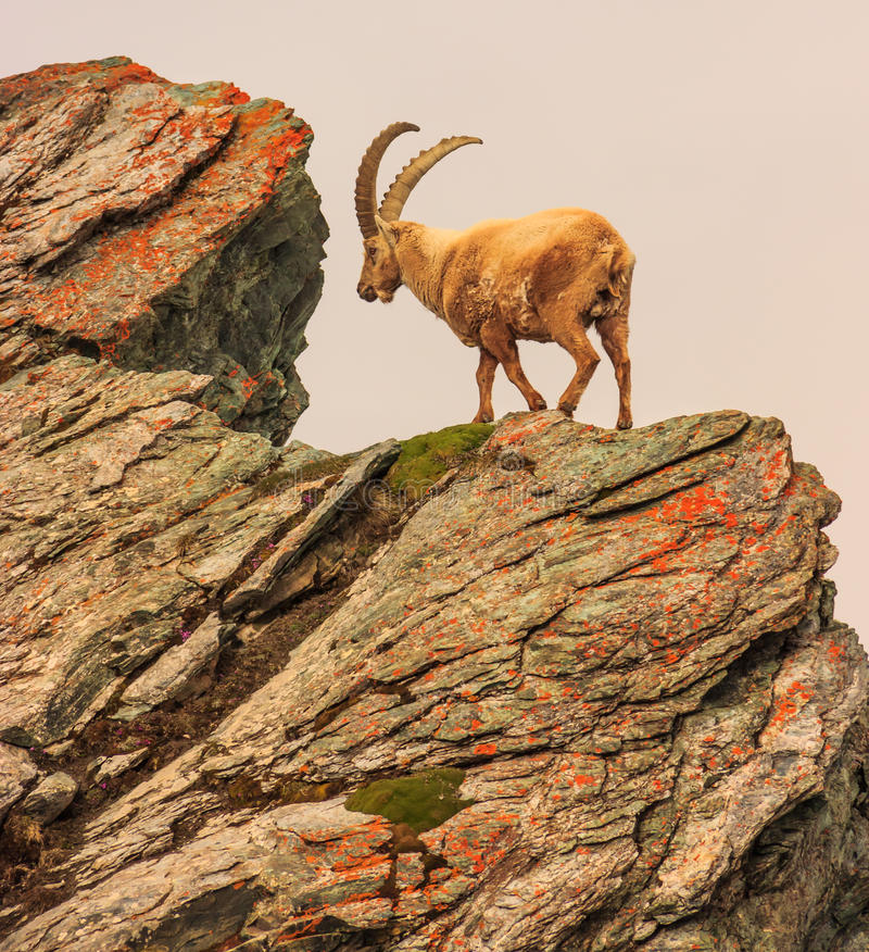 An ibex capra caucasica on the Gornergrat mountain cliff, Zermatt, Switzerland.  stock image