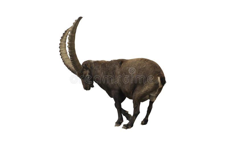 Ibex with clipping path. Ibex isolated on white with clipping path royalty free stock photo