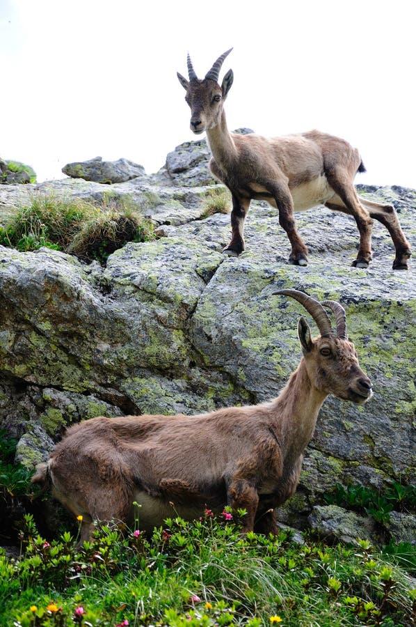 Ibex couple stock photos