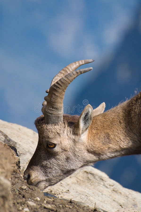 Download Ibex eating salt on rocks stock image. Image of mammal - 3053383