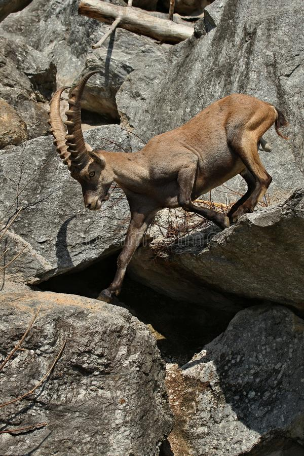 Ibex fight in the rocky mountain area. Wild animals in captivity. Two males fighting for females royalty free stock photo