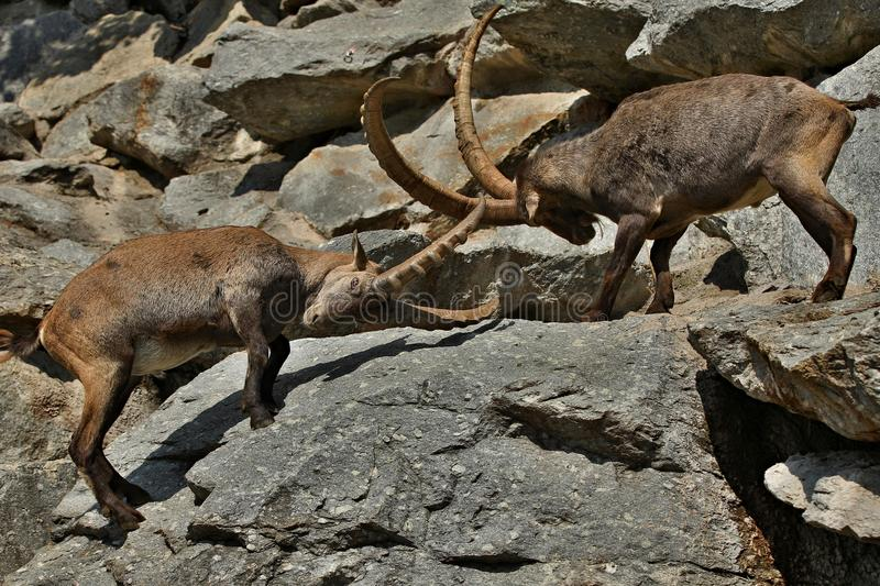 Ibex fight in the rocky mountain area. Wild animals in captivity. Two males fighting for females royalty free stock photos