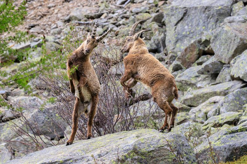 Ibex in the Gran Paradiso National Park royalty free stock images
