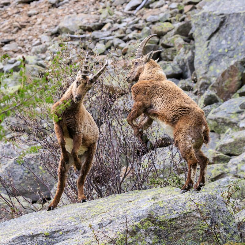 Ibex in the Gran Paradiso National Park royalty free stock image
