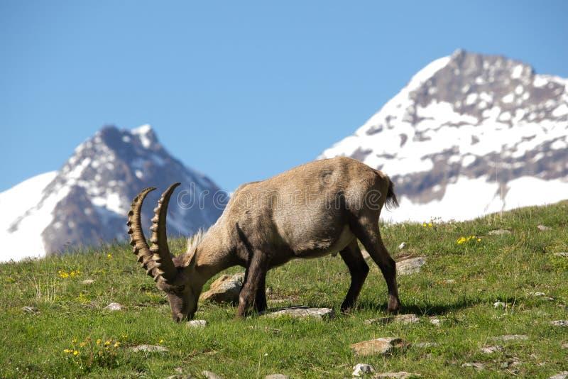 Ibex Grasing с горами в предпосылке стоковое фото
