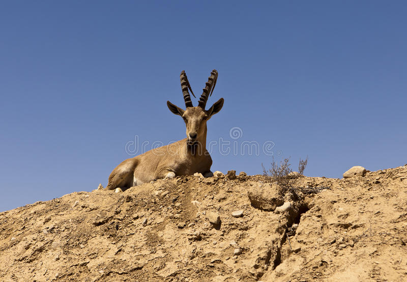 Download Ibex On A Hill stock photo. Image of horns, natural, wild - 27815184