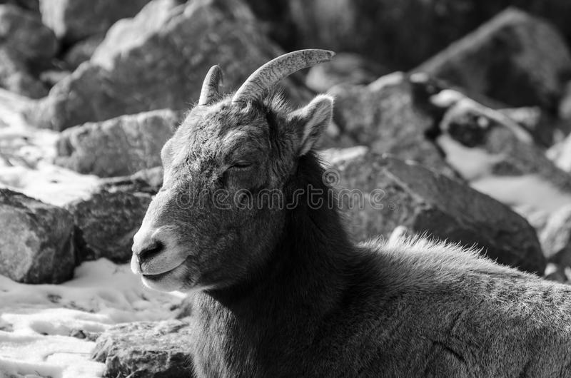 Ibex lounging on the ground close up royalty free stock photos