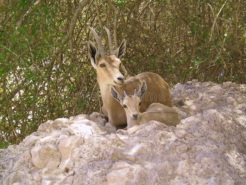 Ibex Mother and Kid stock photos