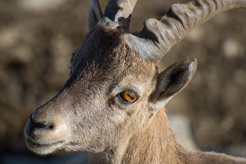 Download Ibex or Mountain Goat stock image. Image of wildlife, close - 3053479