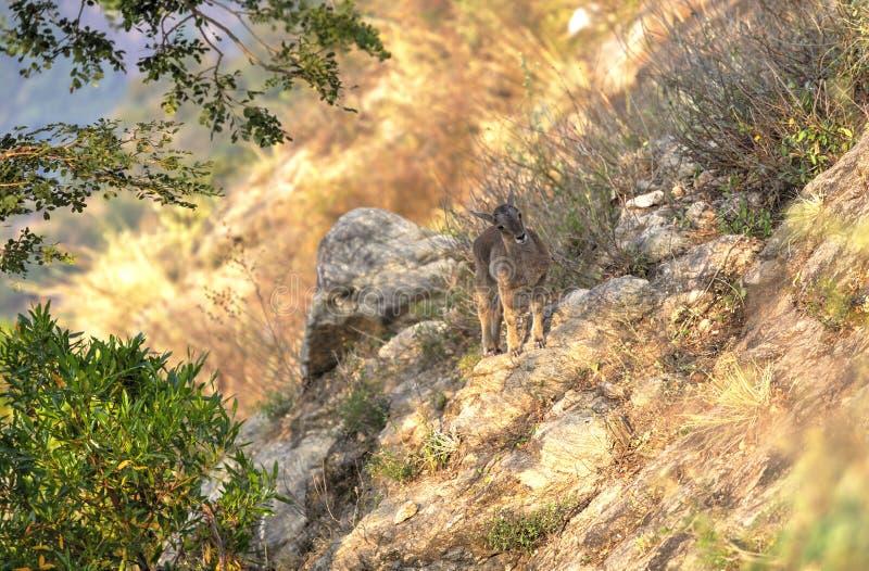 Ibex Nilgiri, Индия стоковые изображения