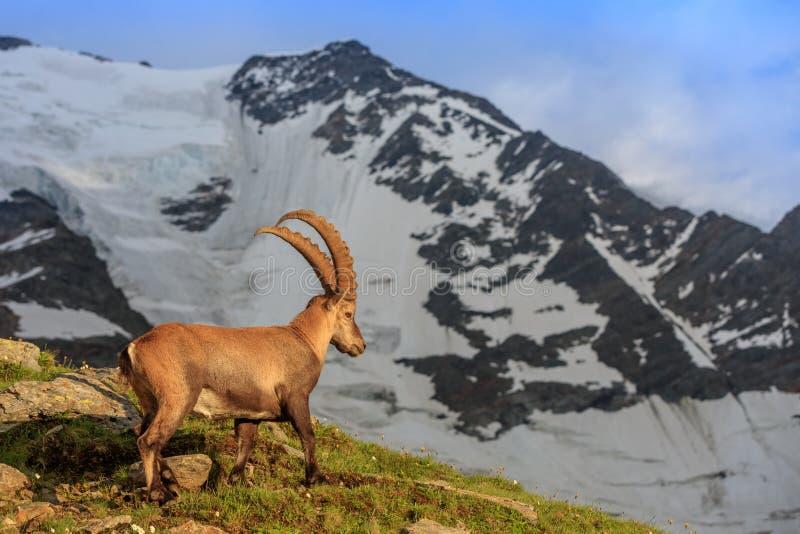 Ibex , Range of Mont-Blanc , French Alps. Ibex , Range of Mont-Blanc. In background Glacier du Bionnassay stock photography
