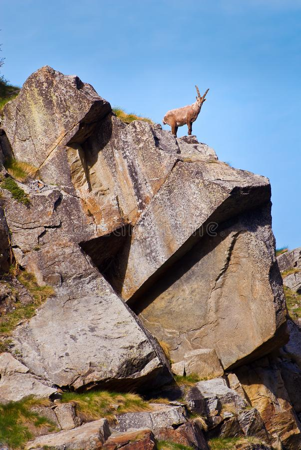 Ibex on a rock in Gran Paradiso national park fauna wildlife, Italy Alps mountains. Ibex on the stone looking. Gran Paradiso national park fauna wildlife, Italy stock photos