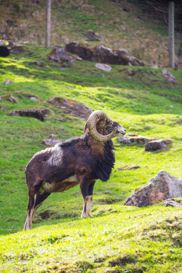Download Ibex standing in the sun stock photo. Image of park, animal - 25030844
