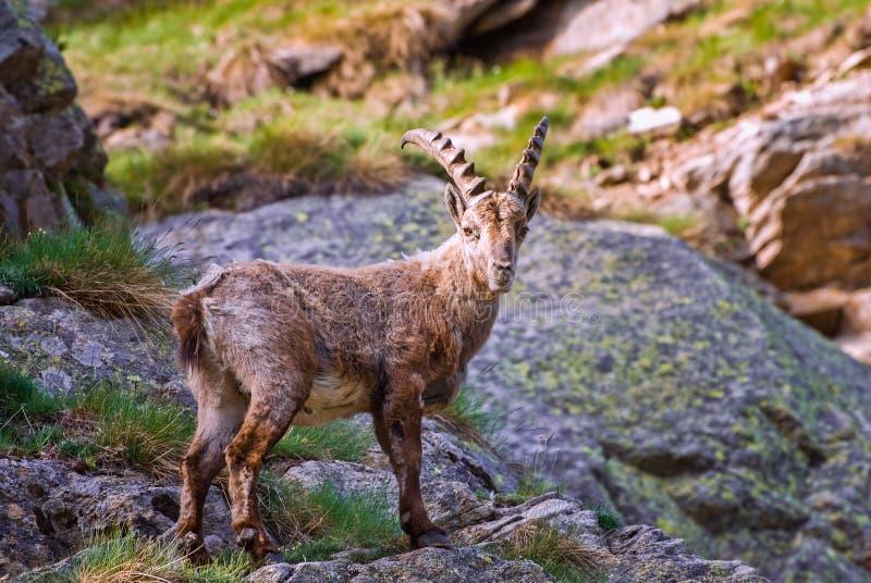 Ibex on the stone in Gran Paradiso national park fauna wildlife, Italy Alps mountains. Ibex on the stone with long horns in Gran Paradiso national park fauna royalty free stock photos
