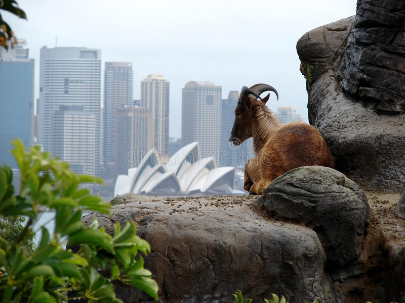 Download Ibex On Sydney Skyline Editorial Photography - Image: 13162912