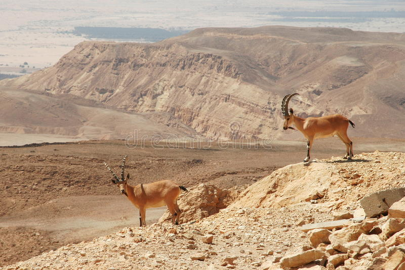 Ibexes on the cliff. royalty free stock image