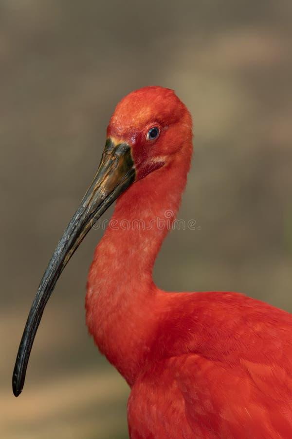 Ibis écarlate photographie stock