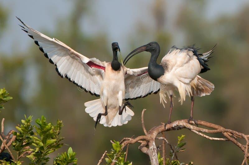 ibis święty obrazy stock