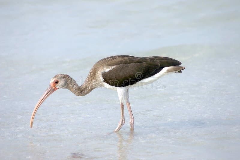 Download Ibis imagem de stock. Imagem de baía, ibis, pássaro, água - 125401