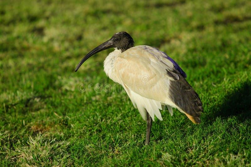 ibis стоковые фотографии rf