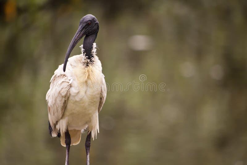 ibis fotografia royalty free