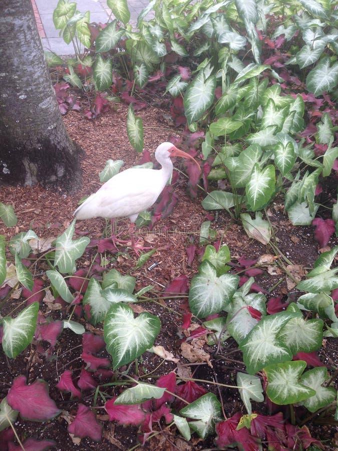 ibis immagine stock