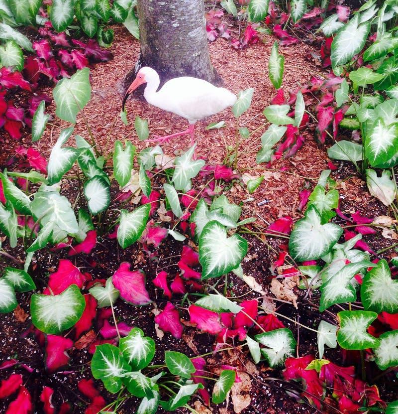 ibis immagini stock