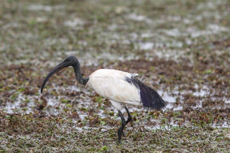 ibis stock afbeeldingen