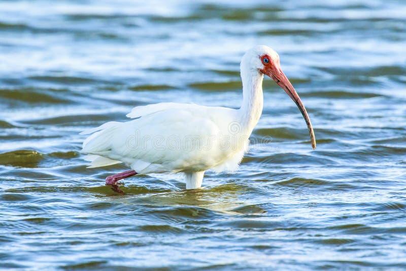 ibis стоковая фотография