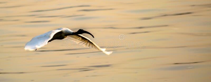 ibis fotos de stock