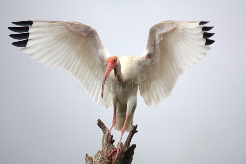 ibis royalty-vrije stock foto