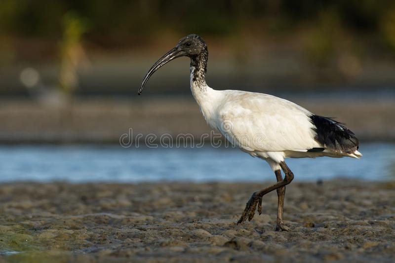 Ibis australiano - ibis in bianco e nero di moluccus del Threskiornis dall'Australia che cerca i granchi durante la bassa marea fotografia stock libera da diritti