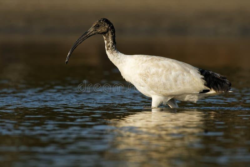 Ibis australiano - ibis in bianco e nero di moluccus del Threskiornis dall'Australia che cerca i granchi durante la bassa marea immagini stock