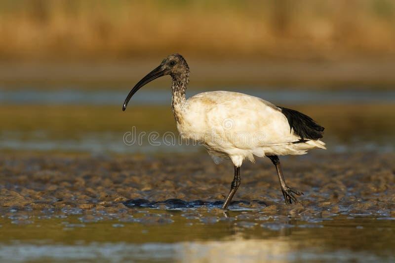 Ibis australiano - ibis in bianco e nero di moluccus del Threskiornis dall'Australia che cerca i granchi durante la bassa marea fotografie stock libere da diritti