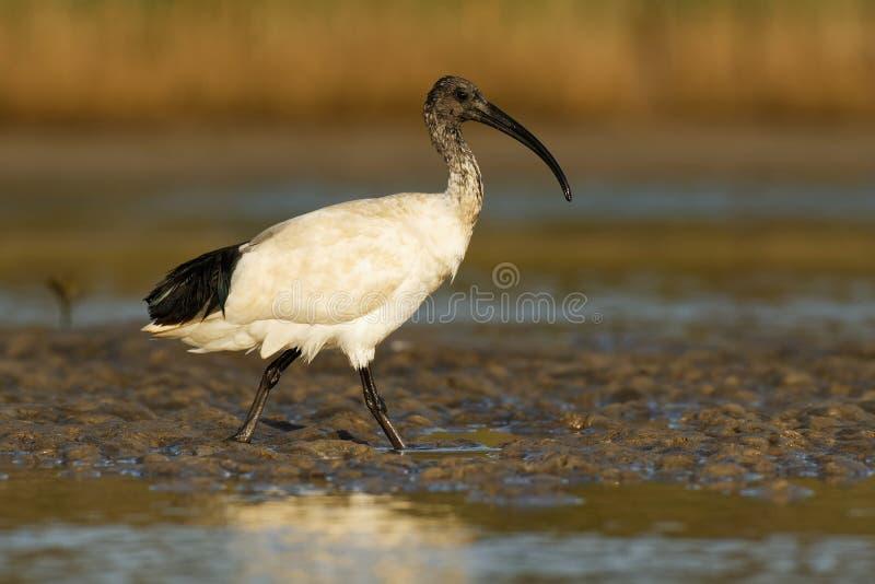 Ibis australiano - ibis in bianco e nero di moluccus del Threskiornis dall'Australia che cerca i granchi durante la bassa marea fotografie stock