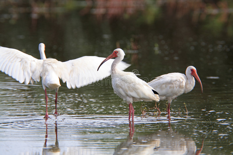 Ibis bianco immagini stock libere da diritti