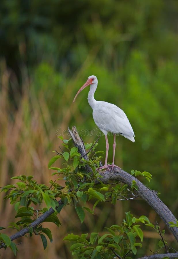 Ibis bianco fotografia stock