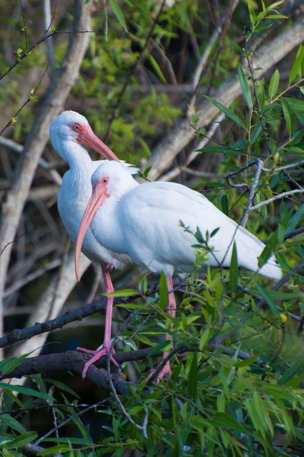 Ibis bianco americano (albus di Eudocimus) immagini stock
