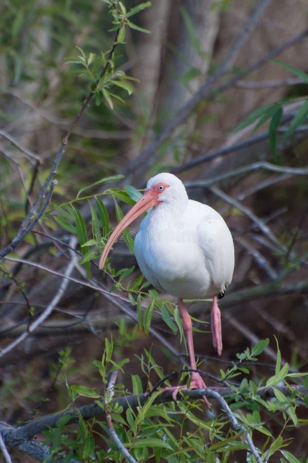 Ibis bianco americano (albus di Eudocimus) immagine stock libera da diritti