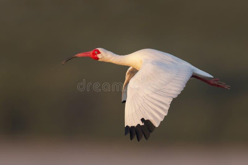 Ibis bianco americano (albus di Eudocimus) in volo fotografia stock libera da diritti