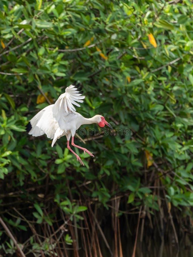 Ibis bianco americano ( Eudocimus albus) in Costa Rica fotografia stock libera da diritti