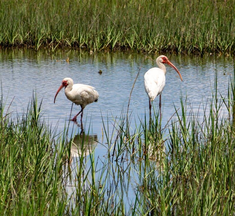 Ibis bianco nella palude d'acqua salata immagini stock libere da diritti