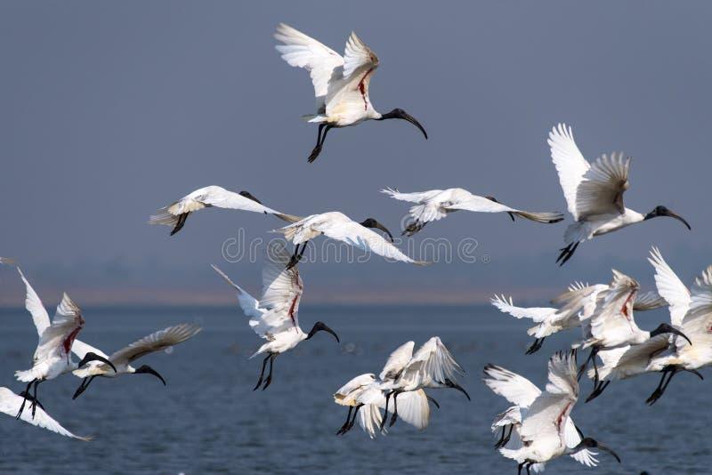 Ibis bianco orientale fotografia stock libera da diritti