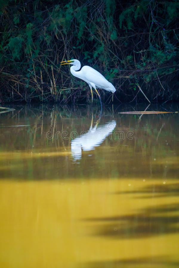 Ibis bird in the water in En Afek nature reserve. Northern Israel royalty free stock photos