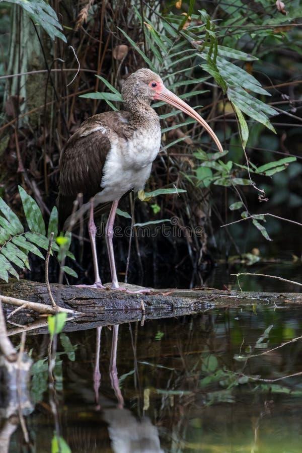 IBIS blanc, jeune, se reflétant dans un étang, grand ressortissant de Cypress photo stock