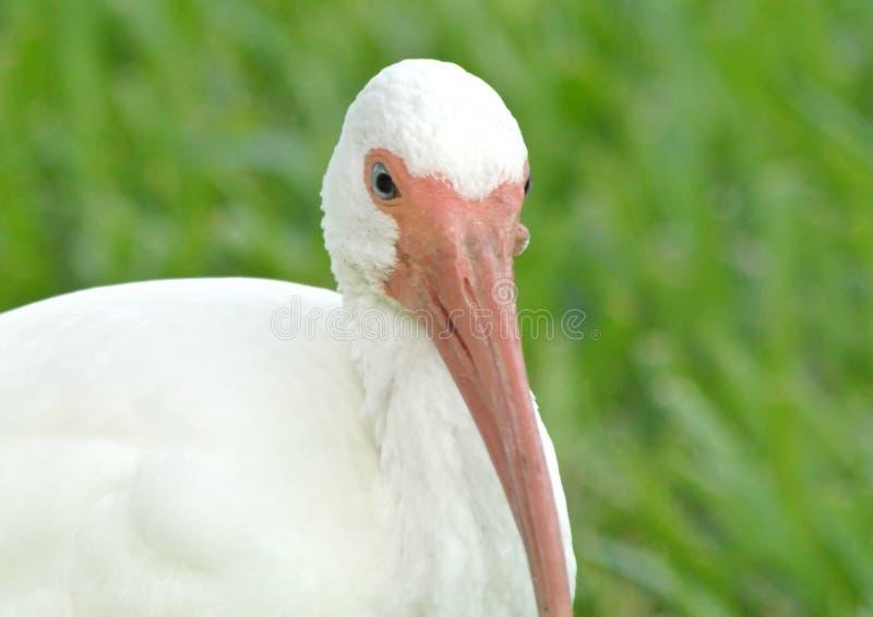 Ibis blanco fotos de archivo