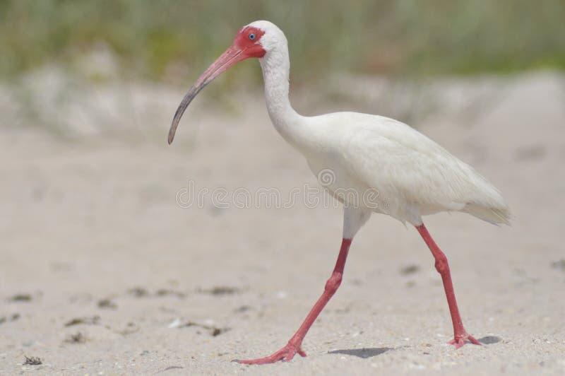 Ibis blanco foto de archivo libre de regalías