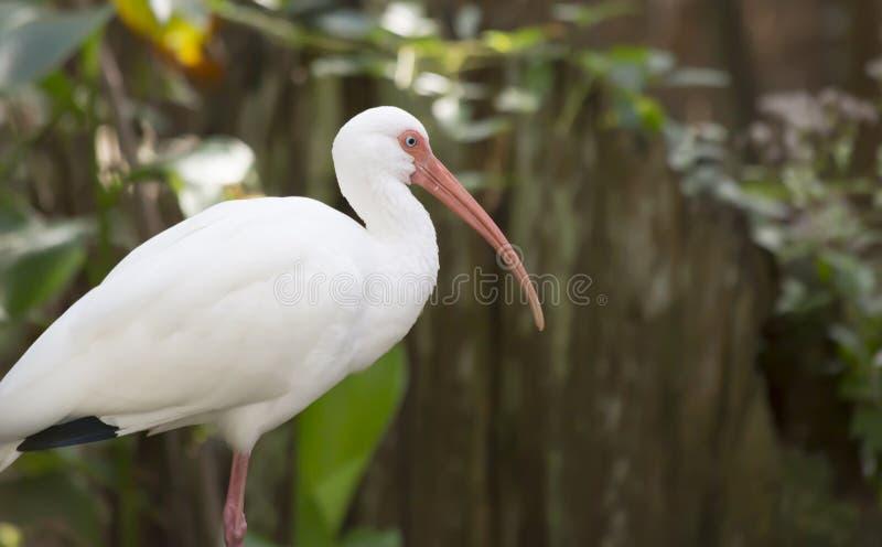 Ibis blanco imagen de archivo