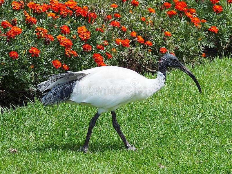 Ibis blanco australiano foto de archivo
